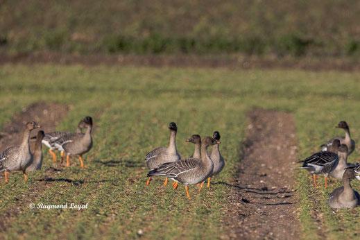 pink-footed geese on arable land