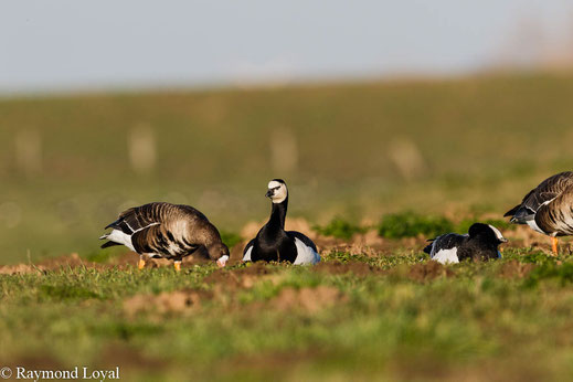 barnacle goose branta leucopais
