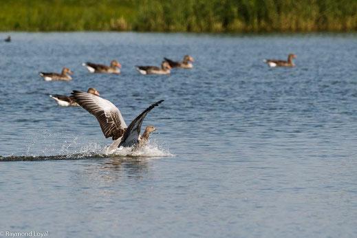 greylag goose after landing on lake