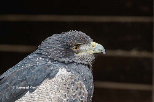 blaubussard vogel portrait