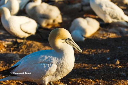 northern gannet helgoland