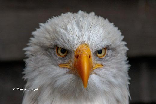 weisskopfseeadler kopf portrait