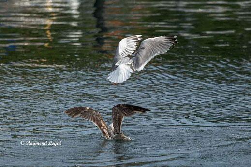silbermoewe vogel flug schwimmen wasser