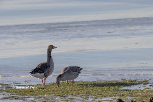 greylag geese on greenland