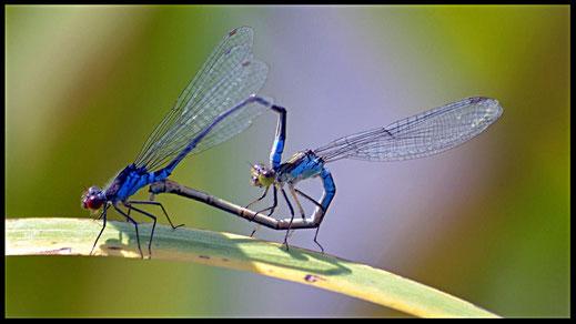La muy distinta posición de los órganos sexuales en el macho y en la hembra, provoca que durante la cópula la pareja tenga que adoptar una postura insólita (la hembra es el individuo de la derecha).