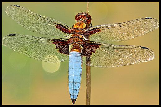 Las libélulas se caracterizan por el voluminoso cuerpo y la extensión horizontal de las alas cuando el insecto se encuentra posado.