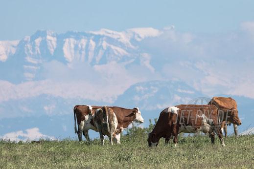Milchkühe am Flughafen Zürich mit Alpenpanorama Schweiz put glückliche Kühe