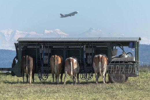 Kühe am Melkstand mit Alpenpanorama und startender Swiss Airbus A320