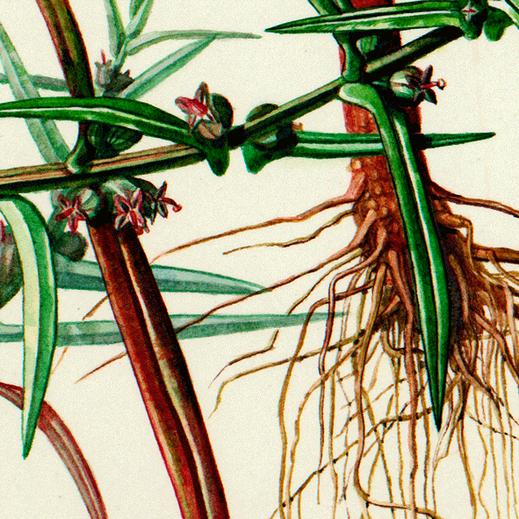 Botanische Illustration, Aquarelltechnik, Ammannia Coccinea