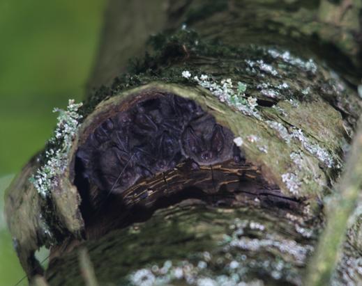 Eine Kolonie Mopsfledermäuse hinter einer Rindenplatte. Foto: R. Leitl