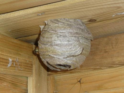 Nest der Sächsischen Wespe. Foto: Stimmler