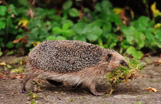 Igel beim Nestbau, Foto: pixabay