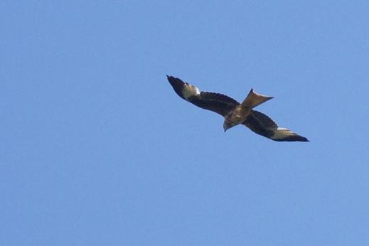Überfliegender Rotmilan (Fotos: G. Kleinschrod)