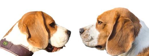 hart hunters, beagle, hund, zucht, tespe, jagd, welpen, vdh, fci, bcd, niedersachsen, garten, poldi, austellung, vienna calling, cuddling cheeks