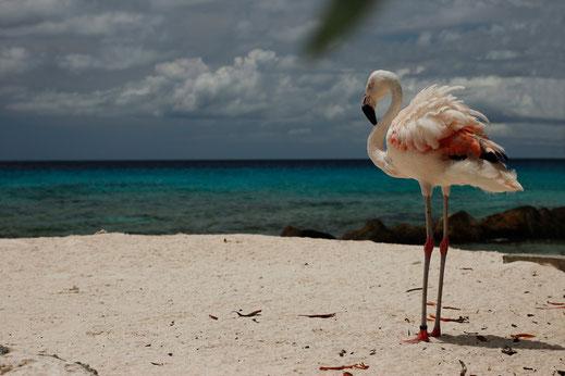 Flamingos auf Renaissance Island, Flamingostrand Karibik, Aruba