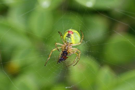 Diese Kürbisspinne verspeist gerade eine Fliege, die sich im Netz verfangen hat.