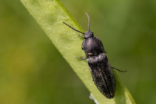 Ein schwarzer Käfer (Flügelinsekt) hangelt sich am Blatt entlang
