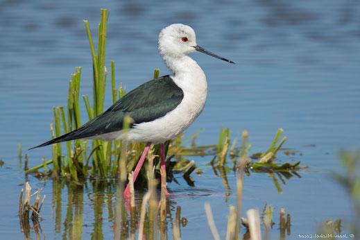 Echasse blanche, oiseau, Sénégal, Afrique, safari, stage photo animalière, Jean-Michel Lecat, photo non libre de droits