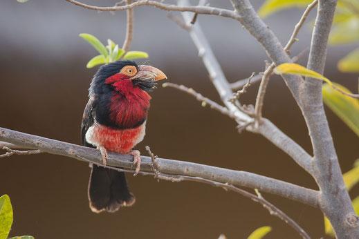 Barbican à poitrine rouge, oiseau, Sénégal, Afrique, safari, stage photo animalière, Jean-Michel Lecat, photo non libre de droits