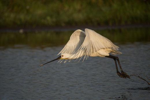 Spatule blanche, oiseau, Sénégal, Afrique, safari, stage photo animalière, Jean-Michel Lecat, photo non libre de droits
