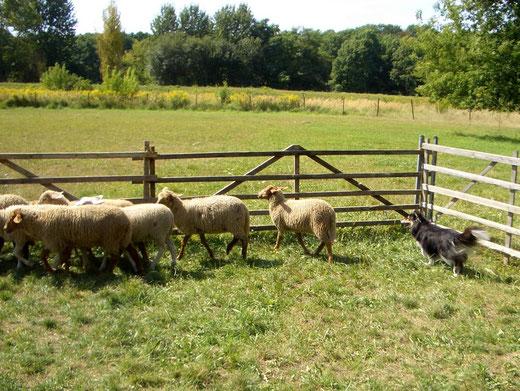 Honey beim Schafe hüten
