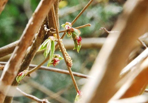 ツノハシバミの花(雄花と雌花)