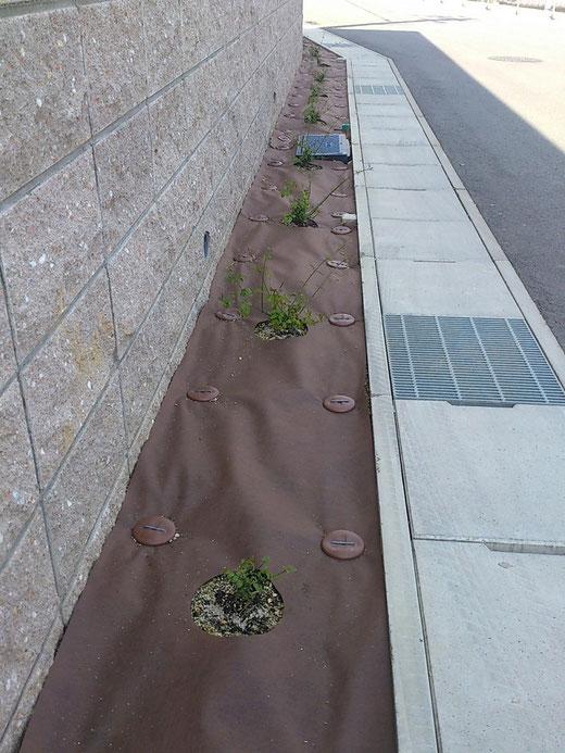 防草シートに切り抜きを入れて中に植栽を