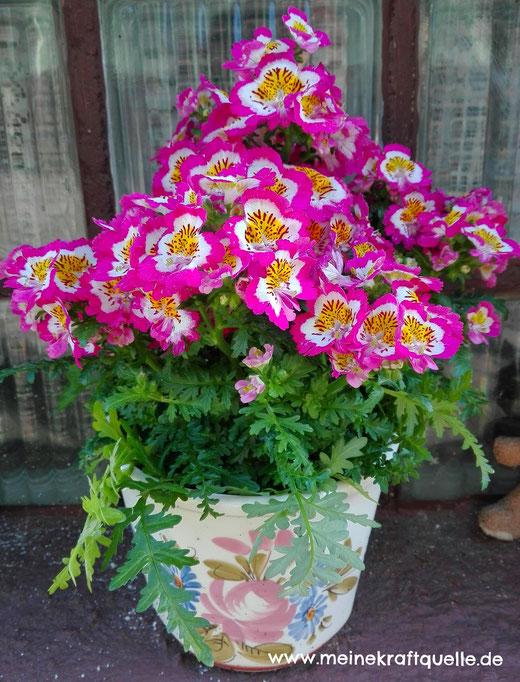 Duftgeranie, Kraftquelle, Blumen im Frühling