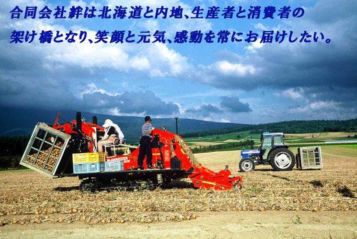 北海道富良野市 玉ねぎの収穫風景