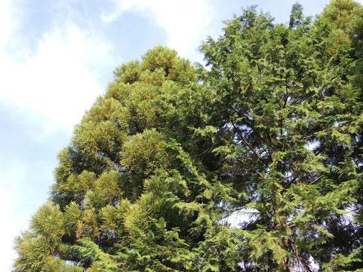 杉と檜の違い