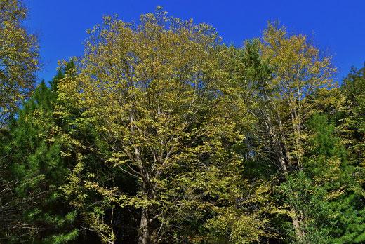 綿飴の匂いがする木の葉