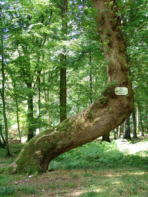 """""""Le Revenant"""", arbre remarquable de la forêt de Crécy"""