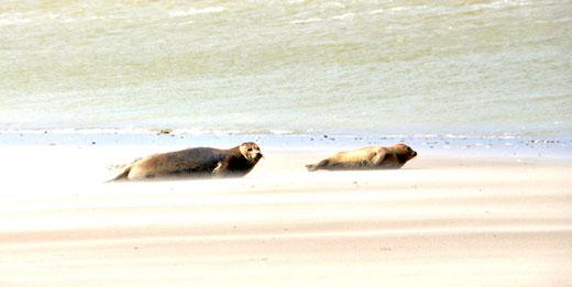 Les phoques de la baie de Somme- Photo! Marie-Paule Dupuis