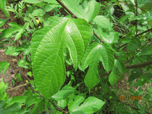 ヒメコウゾの葉