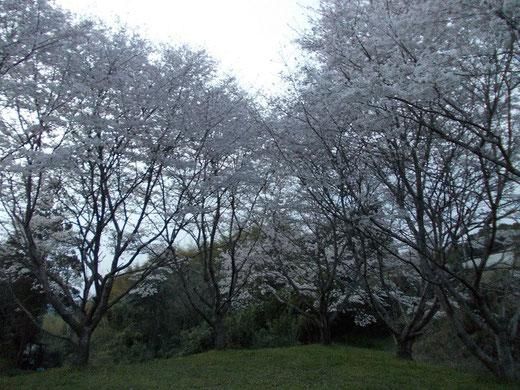 十島神社の桜
