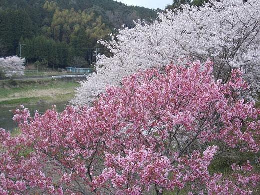 柳瀬橋の桜