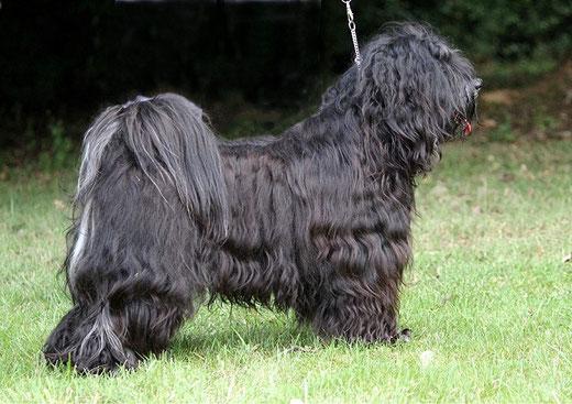 Srinagar Danda Fu-Yeshi Black Jewel - male - 21 month old