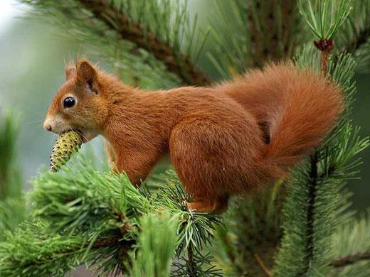 Eichhörnchen beim Klauen