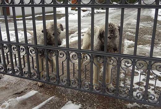 Irische Wolfshunde