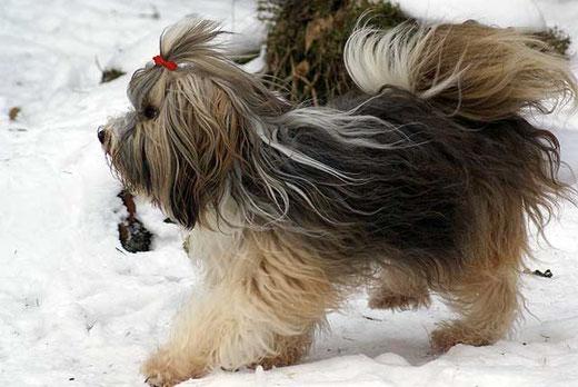 Tibet-Terrier-Hündin Milka im Schnee
