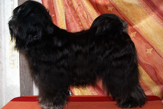 Stud - Tibetan terrier - Srinagar Danda Fu-Yeshi Black Jewel