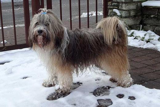 Milka nach dem Schneespaziergang