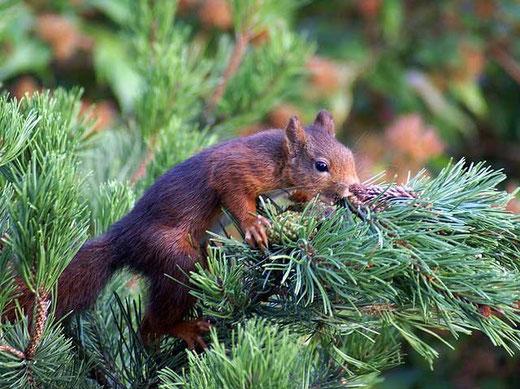 Eichhörnchen Nr. 2, noch etwas vorsichtig