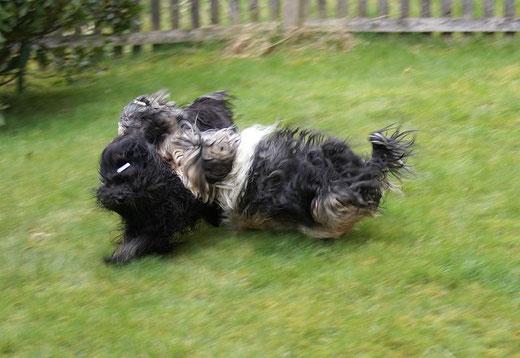 Tibet-Terrier Yeshi, Jita und Geshe beim Rennen und Spielen