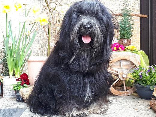 Srinagar Danda Fu-Yeshi Black Jewel - 3 1/2 Jahre alt