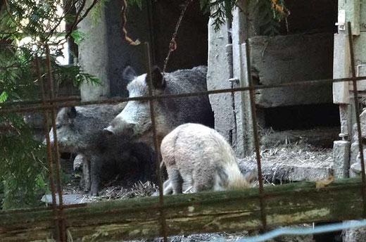 Mama Wildschwein und Familie