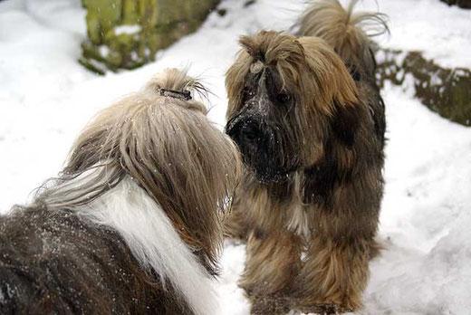 Tibet-Terrier Milka und Percy im Schnee