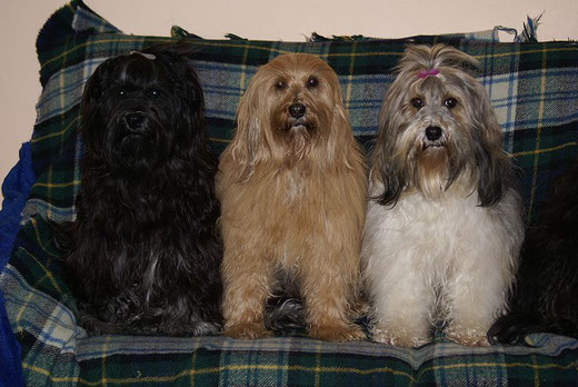 Tibet-Terrier Yeshi, Bya-ra und Milka - alle drei frisch gebadet - Februar 2015