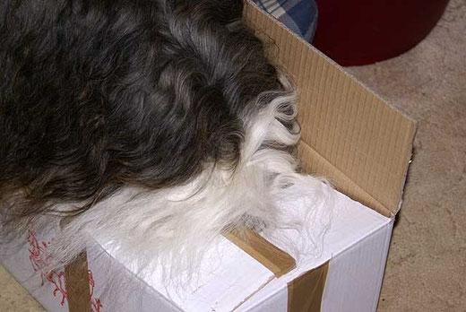 Milka bis zum Hals im Karton verschwunden