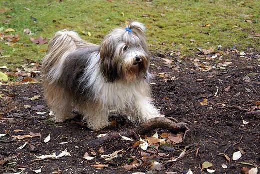 Tibet-Terrier-Hündin Milka beim Spielen